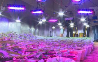 Đắk Lắk: Phát hiện hàng loạt vụ trồng cần sa quy mô lớn