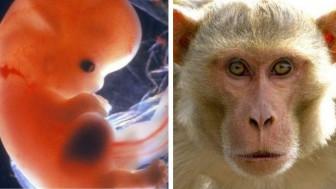 Tranh cãi dữ dội về việc tạo ra bào thai lai giữa người và khỉ