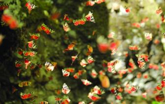 Thung lũng bướm độc đáo ở Petaloudes