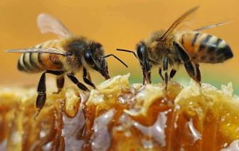 Ong mật có thể là chìa khóa giúp các nước nghèo xét nghiệm nhanh COVID-19