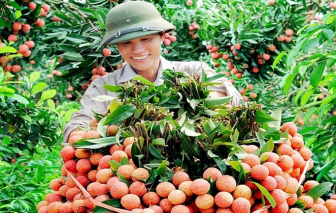 100 tấn vải thiều Việt Nam chờ sang Úc
