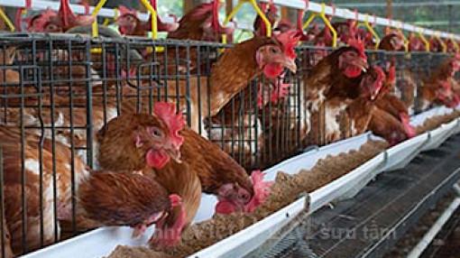 Một thời nuôi gà sân thượng