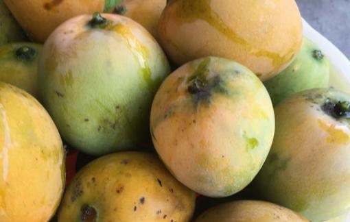 Thương những trái xoài rụng lộp độp trong vườn
