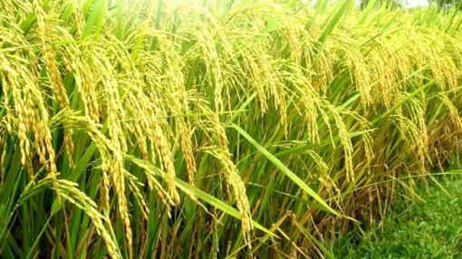 Hương lúa chớm hạ