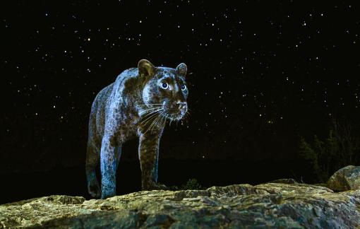 Hành trình săn ảnh báo đen châu Phi