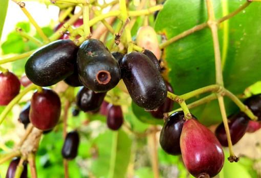 Điểm danh 5 loại trái cây nhắc là nhớ đến miền Tây