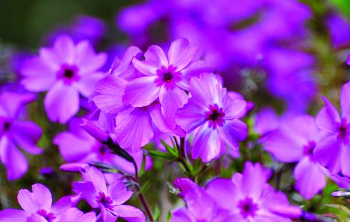 Hoa chi anh cho mỗi người