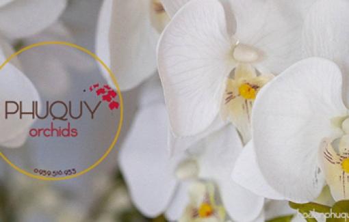 Hoa Lan Phú Quý - Thương hiệu hoa lan hồ điệp hàng đầu