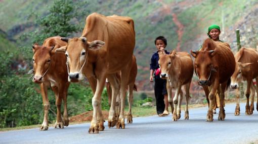 Chăn bò dưới cơn mưa hạ…