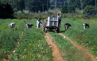 Người lao động nhập cư Ấn Độ làm việc như nô lệ trong các nông trại ở Ý