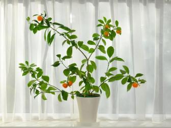 Những loại cây ăn quả bạn có thể trồng trong nhà