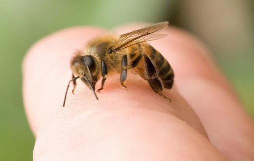 Bé 2 tuổi tử vong vì bị ong vò vẽ nuôi tấn công