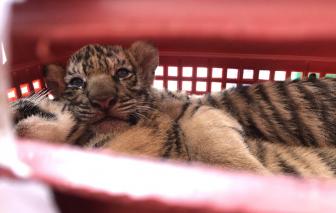 Phát hiện hàng chục con hổ nuôi trong nhà dân ở Nghệ An