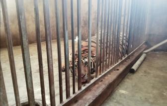 Cận cảnh hệ thống chuồng nuôi hổ như nuôi heo trong nhà dân ở Nghệ An