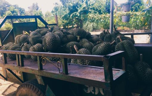 Sầu riêng Đắk Lắk chưa đầy 20.000 đồng/kg vẫn chẳng có người mua