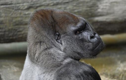 Mỹ: Dịch COVID-19 bùng phát ở khỉ đột