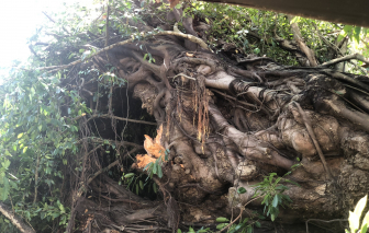 Cây đa cổ thụ 200 tuổi giữa lòng thành phố Quảng Ngãi bất ngờ bật gốc, đè chết người đi đường