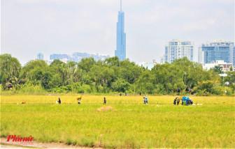 Nông dân TPHCM vào mùa... gặt lúa