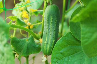 12 loại rau cho người tập làm vườn