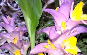 Hương bông dề - loài hoa lạ lẫm